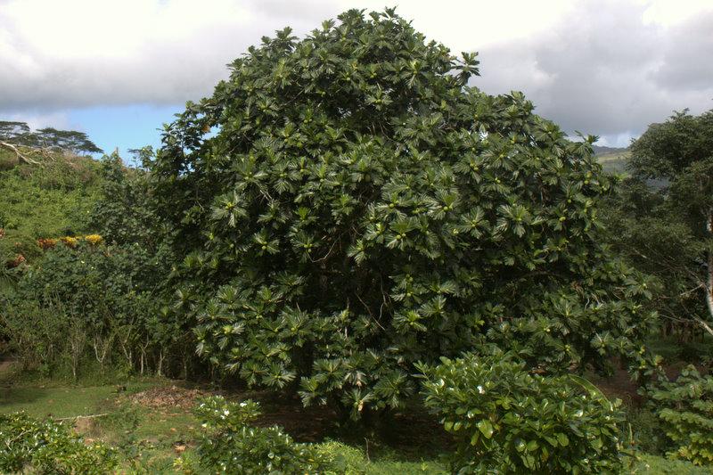 breadfruit trees