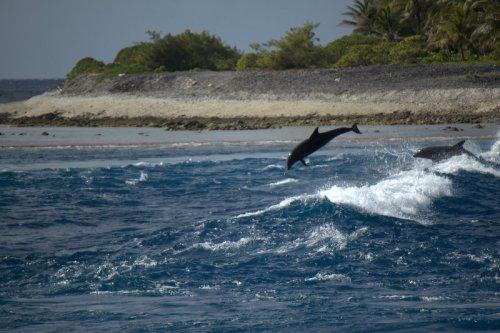 dolphis at Tiputa Pass
